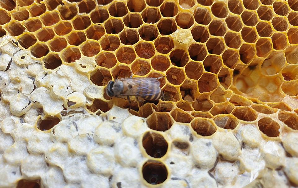 ชีวิตสังคมผึ้งบ่งบอกความอุดมสมบูรณ์ของป่า