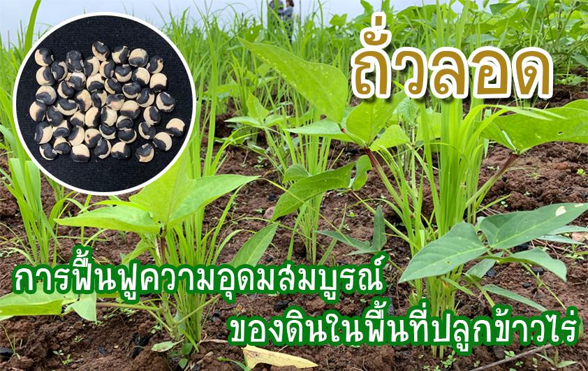 การฟื้นฟูความอุดมสมบูรณ์ของดินในพื้นที่ปลูกข้าวไร่ : ถั่วลอด