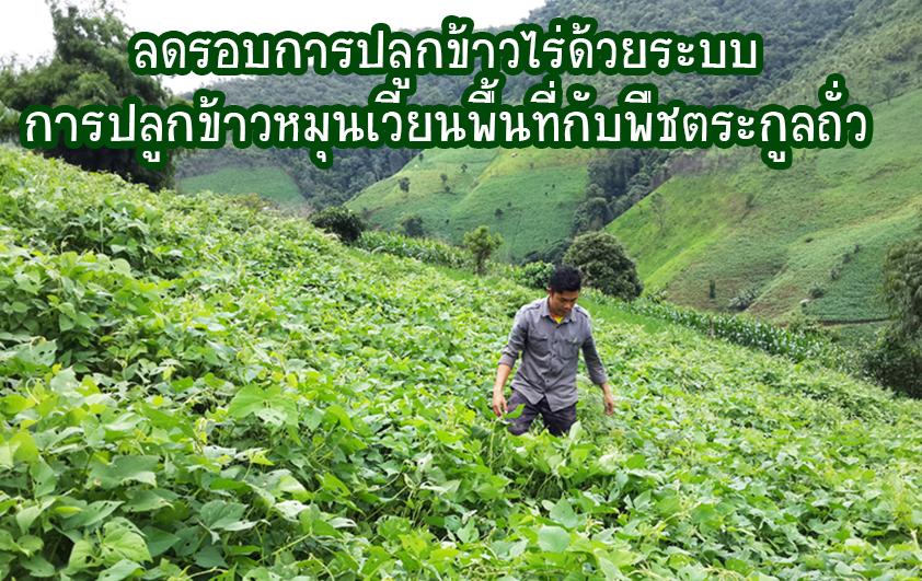 ลดรอบการปลูกข้าวไร่ด้วยระบบการปลูกข้าวหมุนเวียนพื้นที่กับพืชตระกูลถั่ว