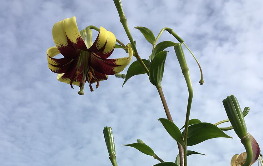 """""""เจ้าแตรวง"""" ดอกไม้จากผืนป่าสู่การพัฒนาเป็นไม้กระถาง"""